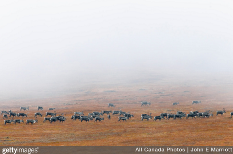 Media metadata Embed title: Barrenground caribou in fog