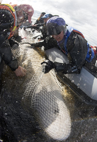 Beluga tagging in Churchill