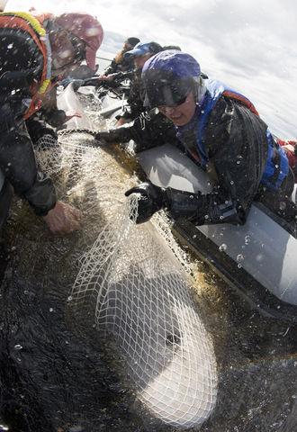 Beluga tagging in Churchill